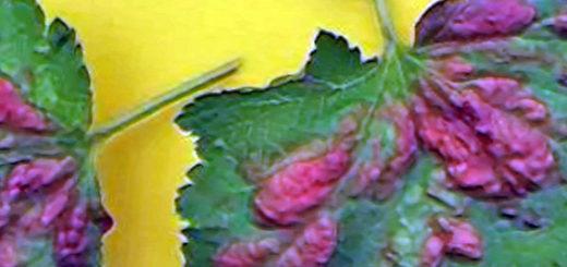Красные пятна на листе смородины обильное поражение