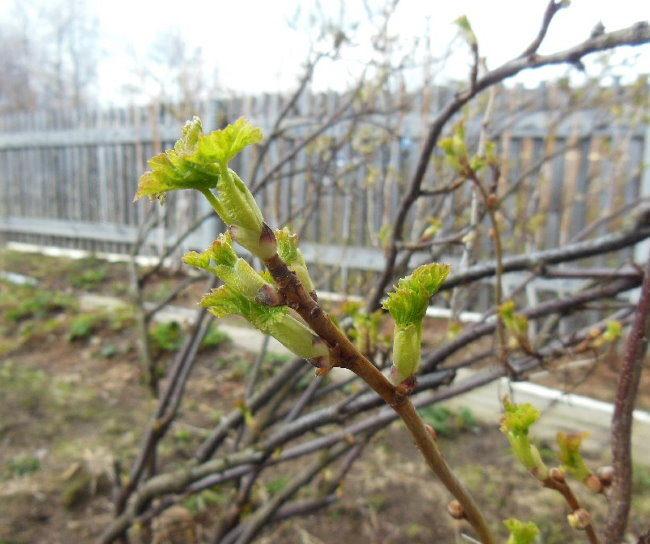 Распускание молодых листочков на ветке черной смородины