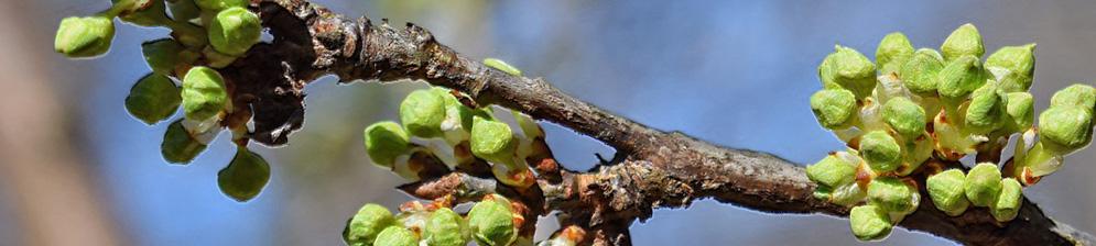 Распустились почки на вишне после зимы