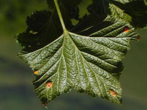 Лист красной смородины с желто-бурыми пятнами при бокальчатой ржавчине