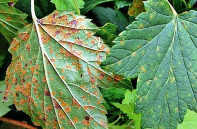 Листья красной смородины с ржавыми пятнами при грибковом заболевании