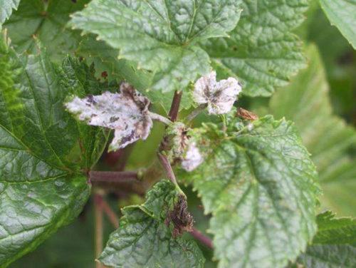 Симптомы серой гнили на кусте белой смородины