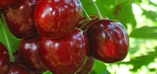 Созревающие плоды на ветке вишни Шалунья уже красные и спелые