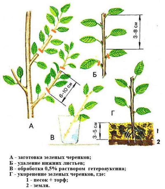 Схема размножения вишни зелеными черенками своими руками