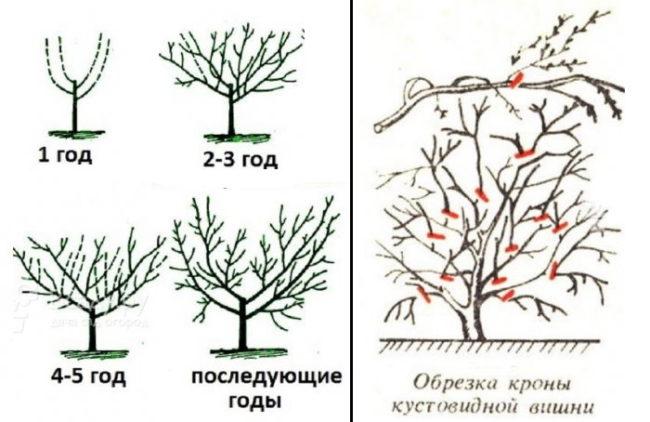 Схема весенней обрезки кустовой вишни в течении первых лет жизни растения