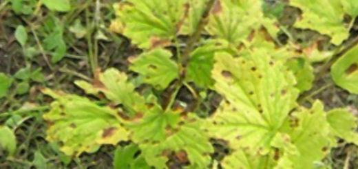 Смородина листья начали желтеть вблизи