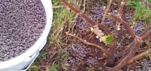Куст смородины ранней весной рядом с ведром минеральной подкормки