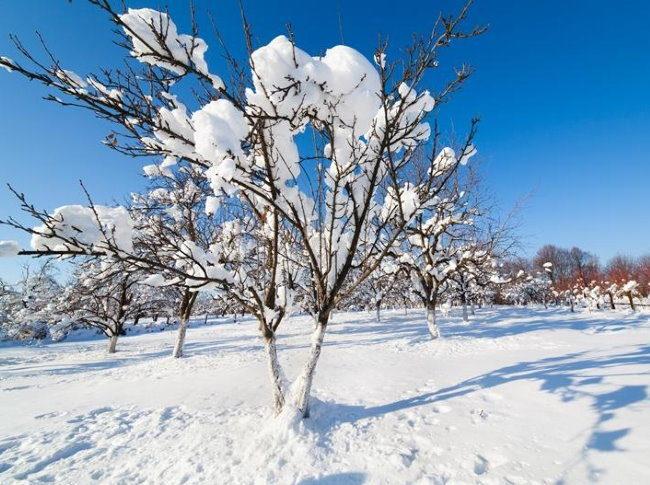 Снег на ветках вишни небольшого роста с компактной кроной