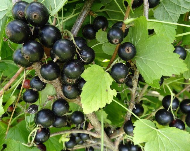 Созревание ягод на кусту черной смородины после весенней подкормки