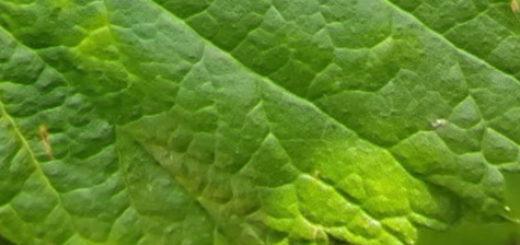 Светлеет лист смородины на кусте