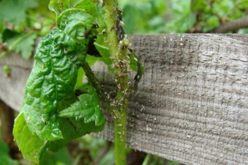 Сворачивание листьев смородины под действием тли