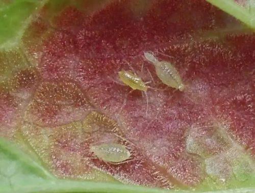 Мелкие особи галловой тли на нижней стороне листа красной смородины