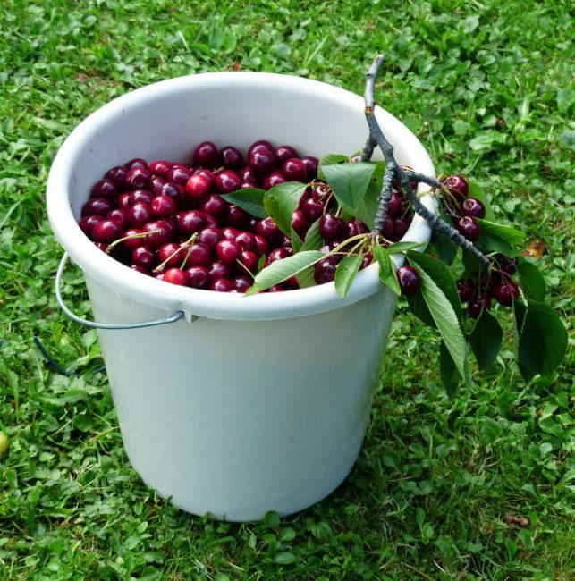 Пластиковое ведро со спелыми и вкусными плодами вишни