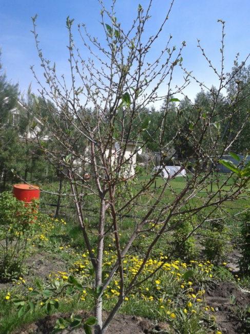 Задержка в распускание листьев на кусту вишне среднего роста