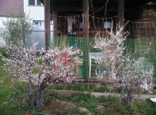 Небольшие кустики самоплодной вишни рядом с летней кухней на даче