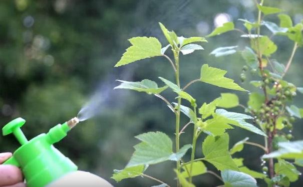 Опрыскивание нижней стороны листьев смородины в начале плодоношения