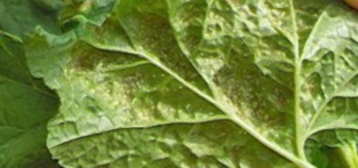 Колония вредителей тли на обратной стороне листа красной смородины