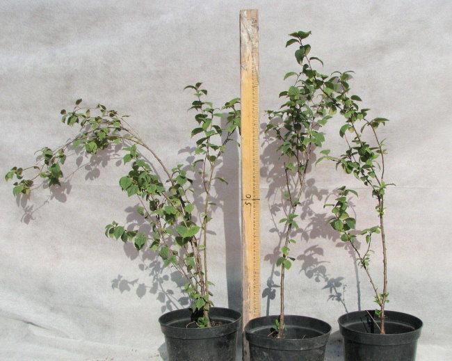 Высота саженцев гибридной вишни в двухлетнем возрасте
