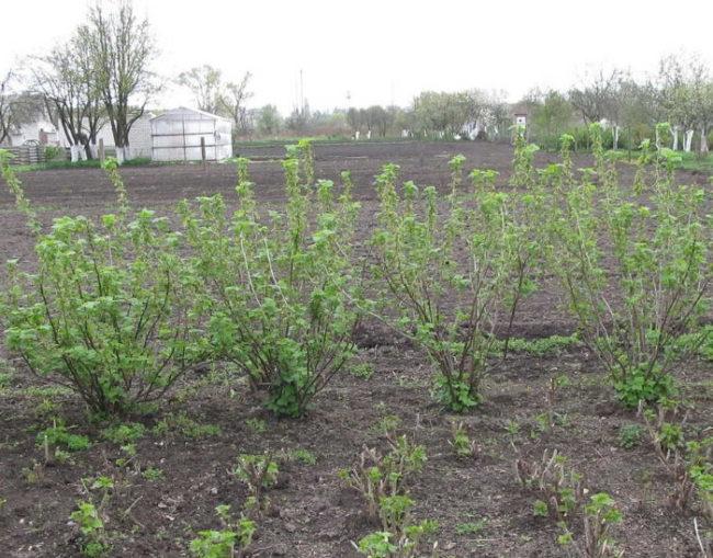 Загущенные посадки кустиков черной смородины на фермерском поле