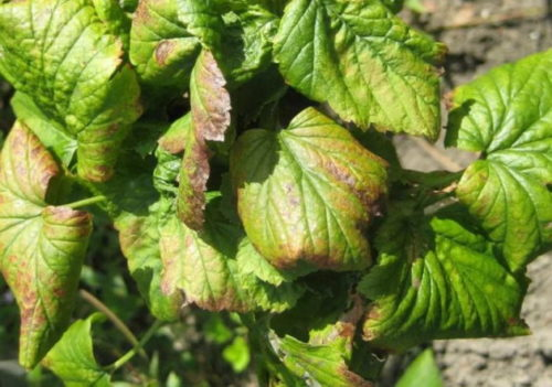 Скрученные листья с пятнами на кусту красной смородины при антракнозе