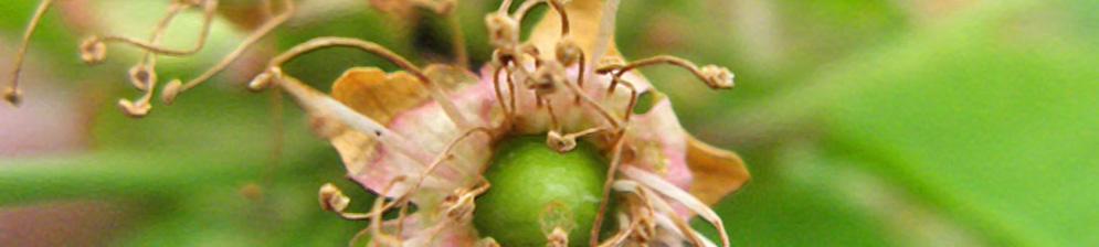 Завязь вишни отцвела вблизи
