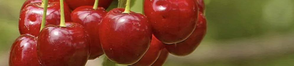 Сорт золушка вблизи созревающие плоды вишни