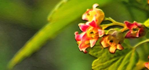 Цветущий цветок смородины в весенний период на дачном участке