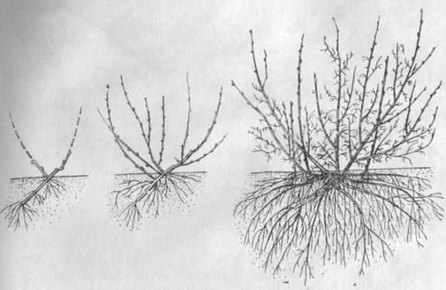 Схема строения надземной и корневой систем куста красной смородины