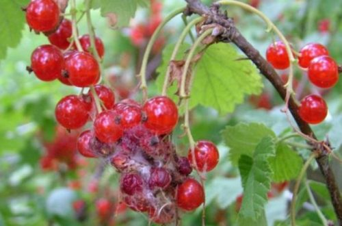 Тонкая паутинка на красных ягодах смородины от огневки