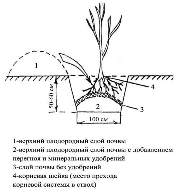 Схема посадки саженца красной смородины с размерами ямы