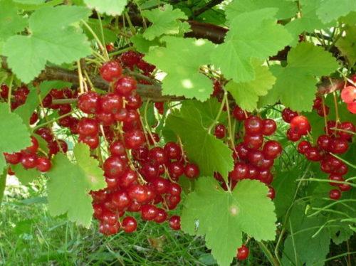 Куст смородины сорта Мармеладница с красными плодами