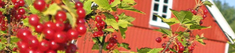 Цвет красной смородины на участке в Подмосковье