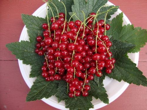 Ягоды смородины сорта Натали ярко красного цвета