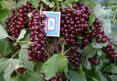 Темно-бордовые ягоды смородины сорта Виксне