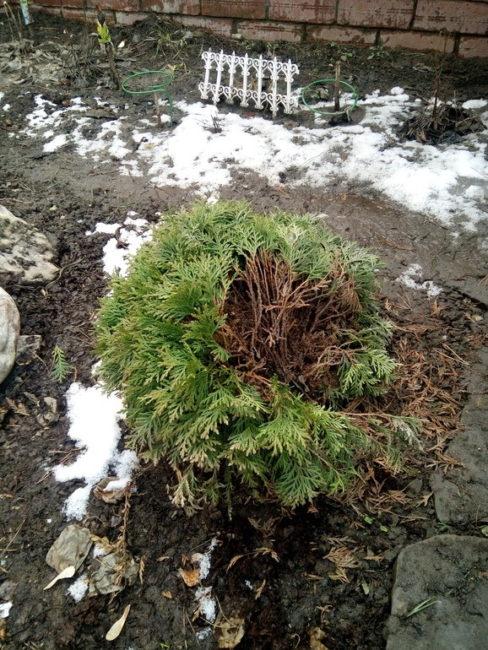 Развалившаяся туя шаровидная после зимовки без специального укрытия