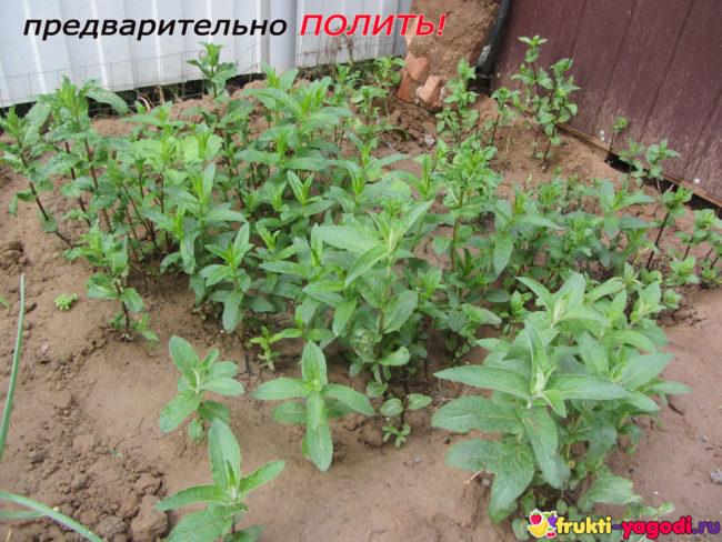 Кусты мяты поливаются перед внесением удобрений
