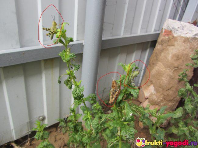 Кузнечики на кустах и листьях мяты перечной