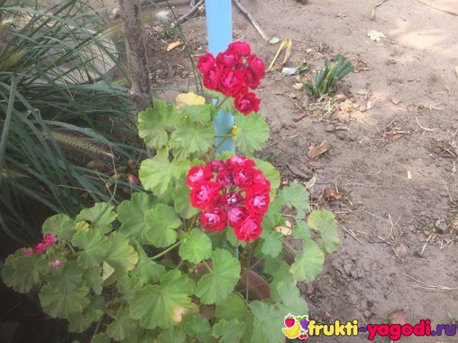 Красные хризантемы вблизи цветут на нашем садовом участке