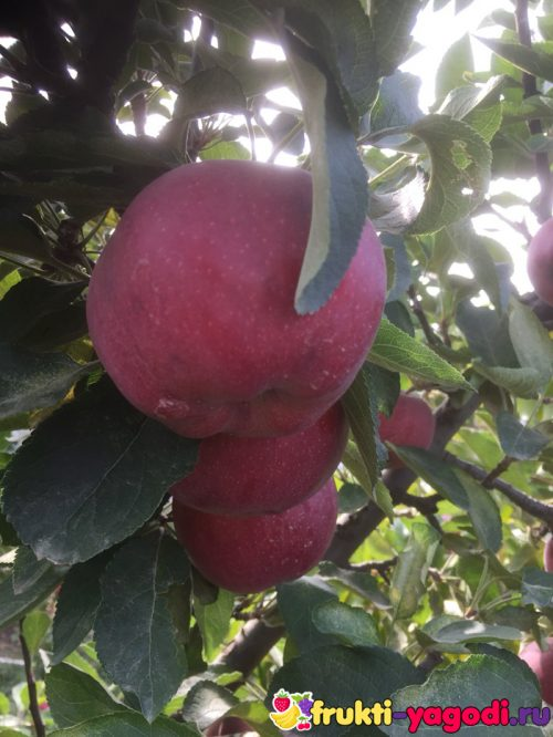 Три спелых плода сорта зимних яблок вблизи