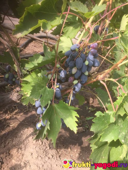 Спелый виноград.