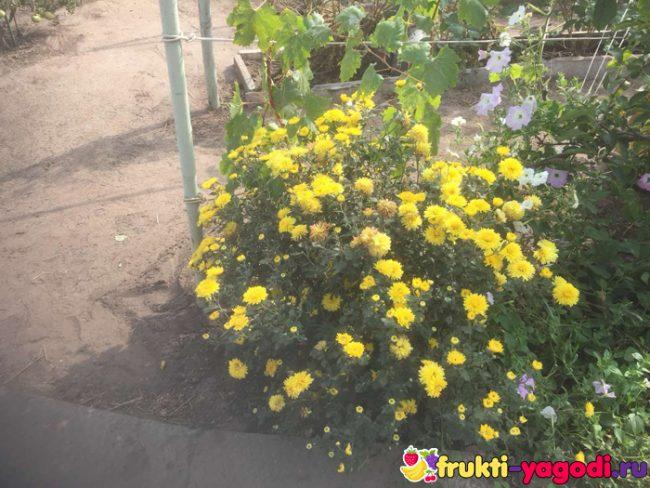Хризантемы цветут пышно на садовом участке