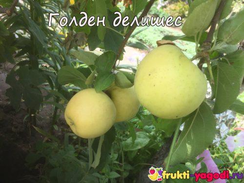 Спелые яблоки сорта Голден Делишес