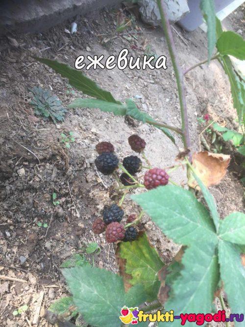 Созревающие плоды ежевики на кусте