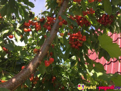 Плоды белой черешни на дереве и ветка