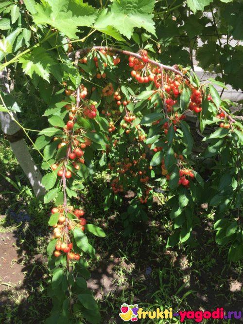 Плоды белой черешни на дереве