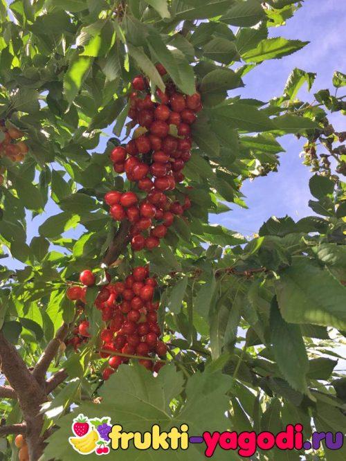 Созревающие плоды красной черешни на дереве