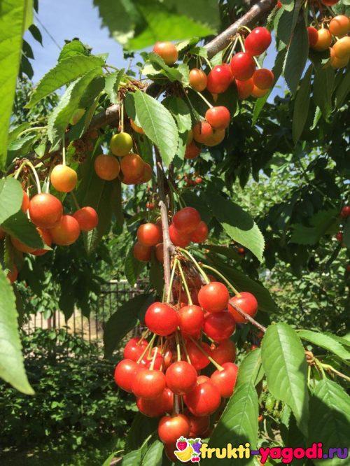 Плоды белой черешни на дереве созревают