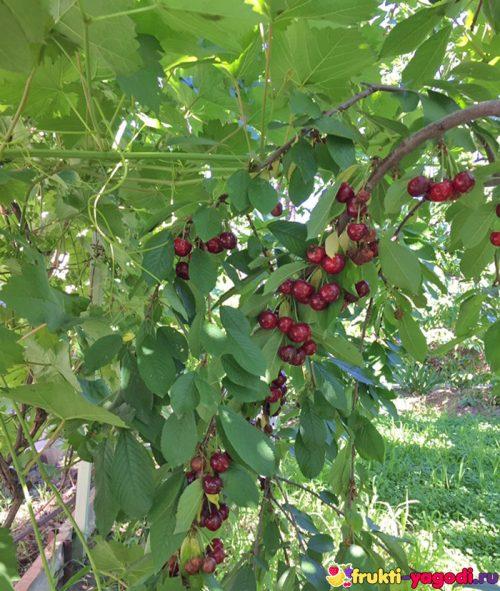 Плоды красной черешни на дереве